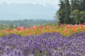 Smell the lavender and enjoy the views. Photo courtesy of Tour de Lavender